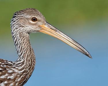 Limpkin (Aramidae)