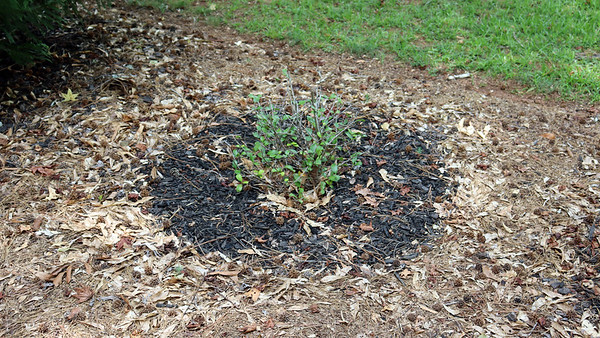 August 1:  Moving the Indian Hawthorn again, replanting irises .  .  .