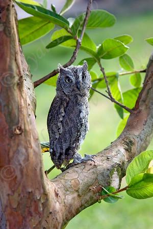 שעירים- Scops owl