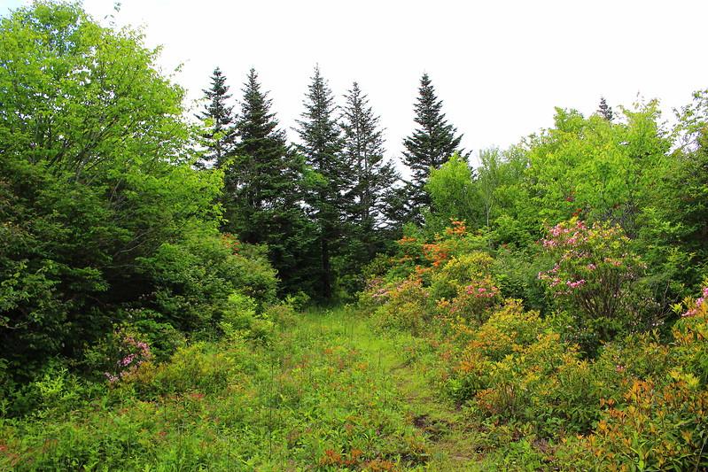 Hooper Bald fir trees mtn laurel azaleas.jpg