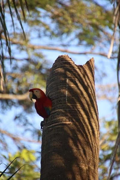 Scartlet Macaws - Red Lapas - Guacamayas in Costa Rica