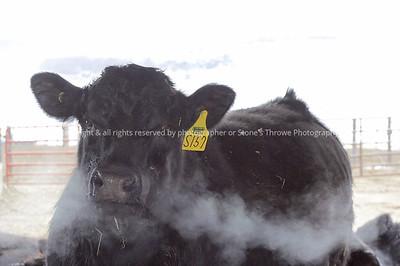 029-cattle-nlg-ndg-0303