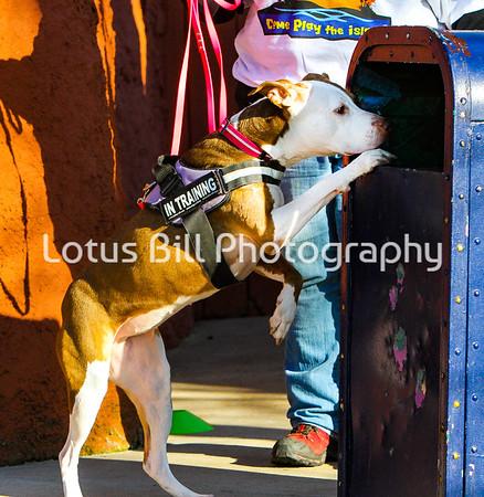 Daisy American Staffordshire Terrier