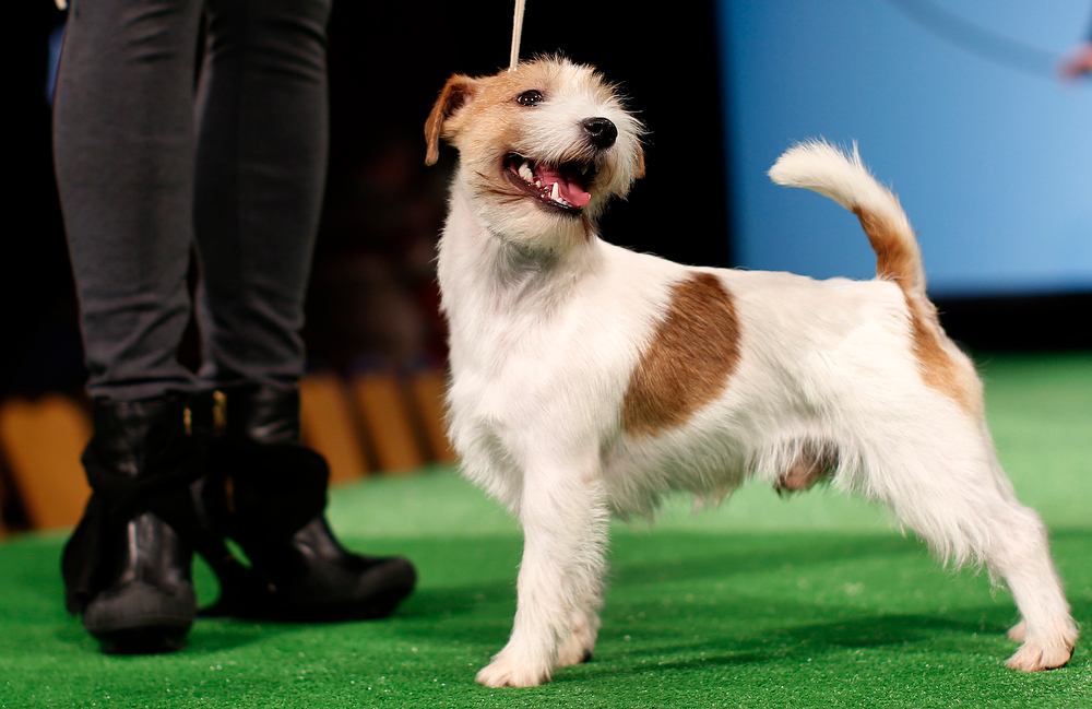 . Perla, a Russell Terrier is introduced during a press conference ahead of the 137th Westminster Kennel Club Dog Show in New York, February 7, 2013. Russell Terriers will join Treeing Walker Coonhounds as the two new breeds in the 137th Westminster Kennel Club Dog Show which will feature some 2,721 dogs and will be held in New York City February 11 and 12, 2013.   REUTERS/Mike Segar