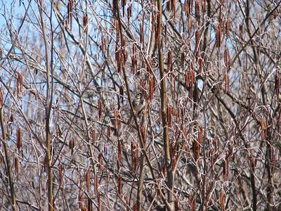 20060419 Song Sparrow