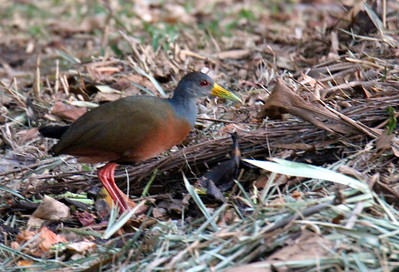 Gray-cowled Woodrail
