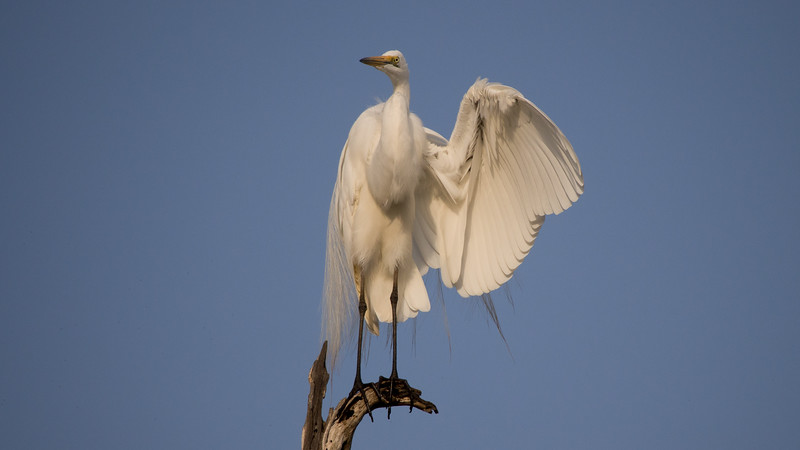 Great Egret, Ardea alba. Selous Game Reserve, Tanzania.