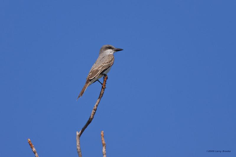 A Gray Kingbird on the perch at Long Key SP