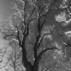 TreeAshvillePark-002_BW