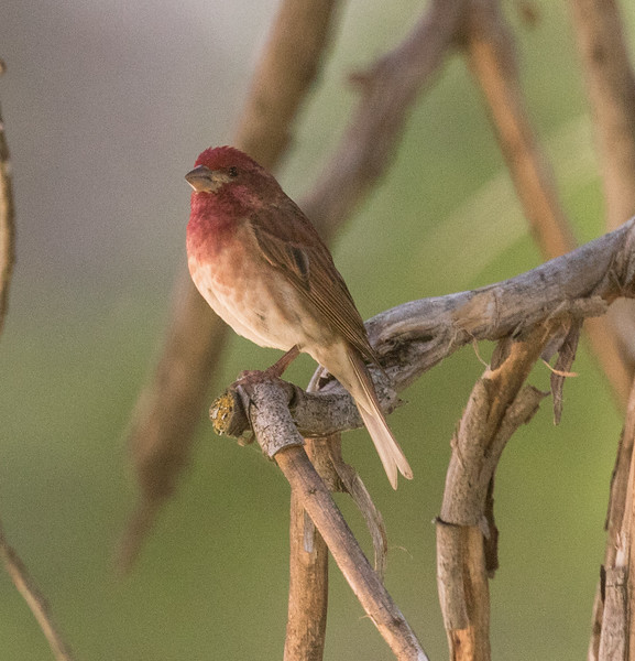 Purple Finch Mt Palomar 2016 05 14-1.CR2