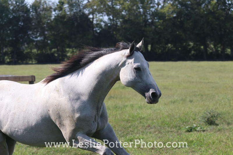 Gray Thoroughbred horse cantering in the pasture