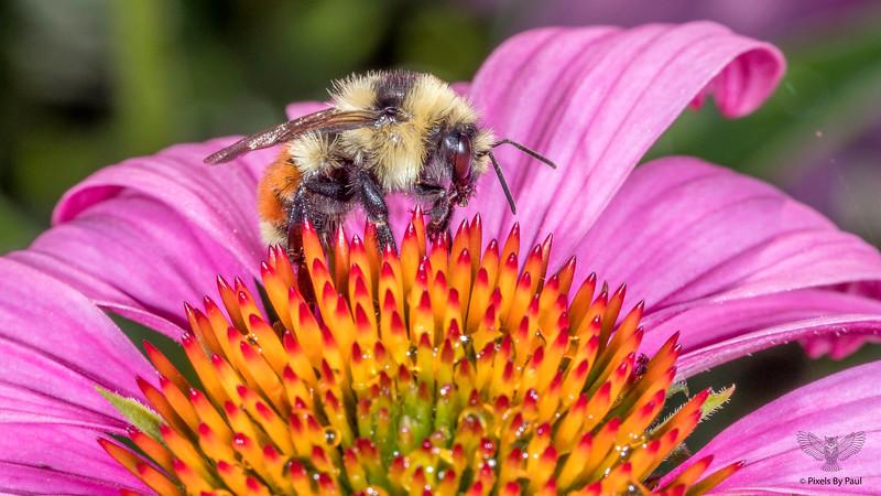 Orange Belted Bumblebee - BOMBUS TERNARIUS
