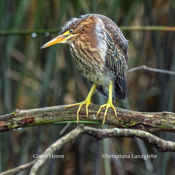 _DSC7738Green Heron.jpg