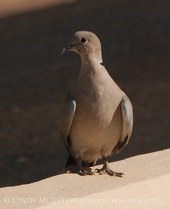 Big Bend Doves