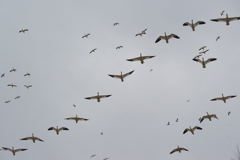 Snow Geese 23 03_13_19.JPG