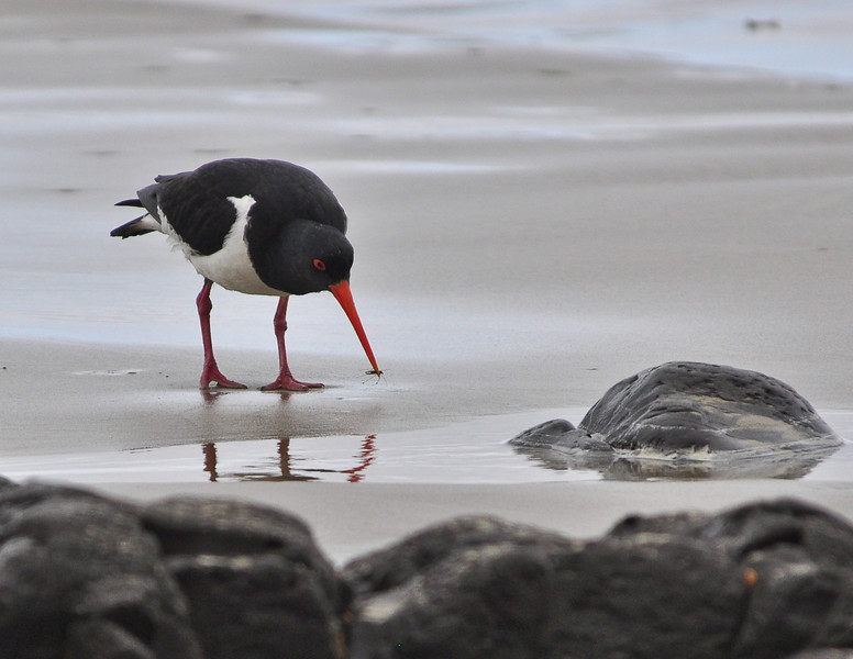 Pied Oystercatcher