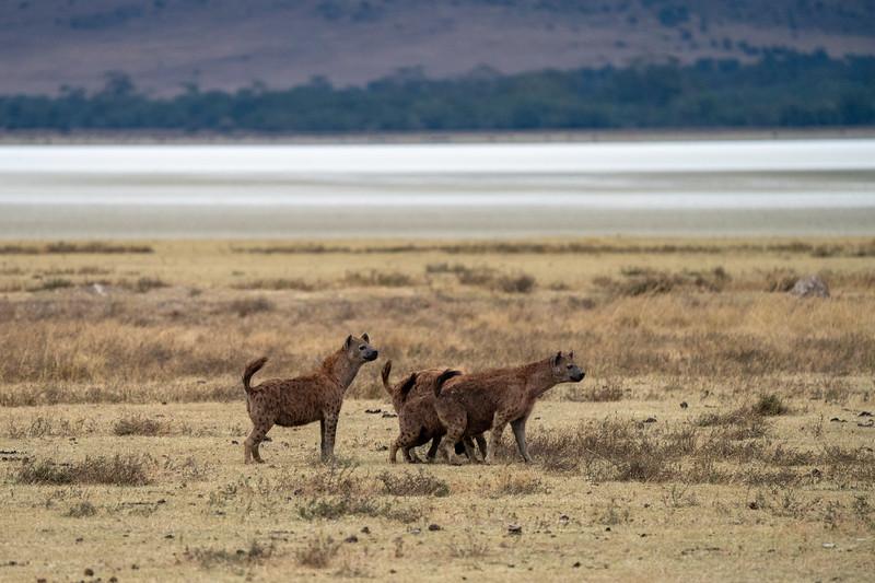 Hyenas in the Ngorongoro Crater