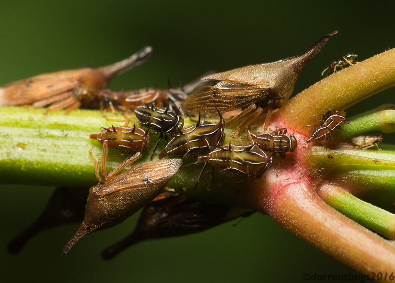 Treehoppers (Membracidae: Guayaquila) from Belize.
