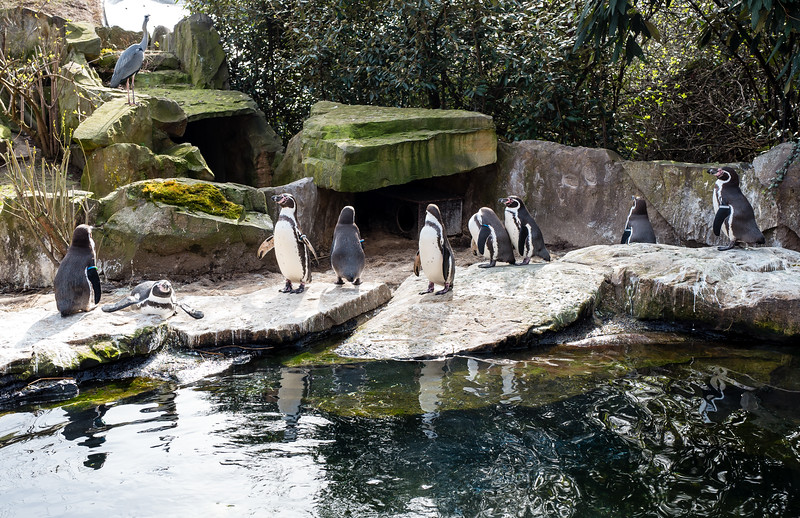 Penguins in Berlin Zoo