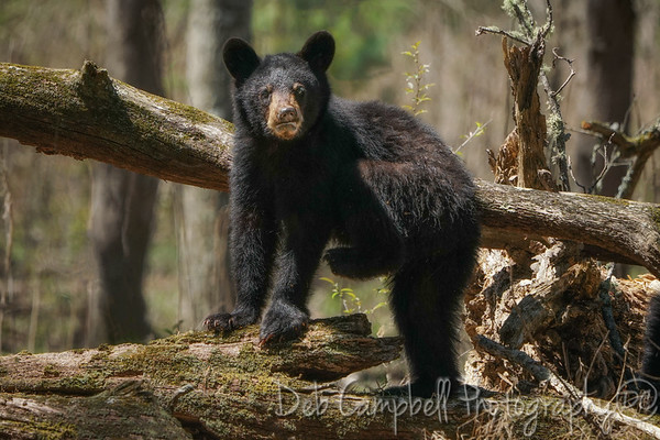 Smokies Black Bears 2018