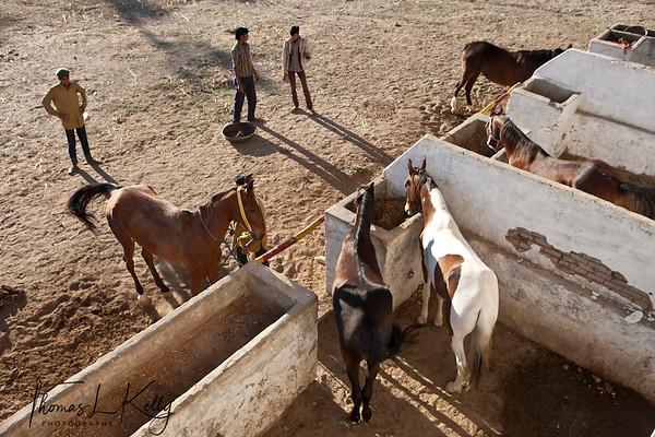 Marwari horse safari in Ranakpur