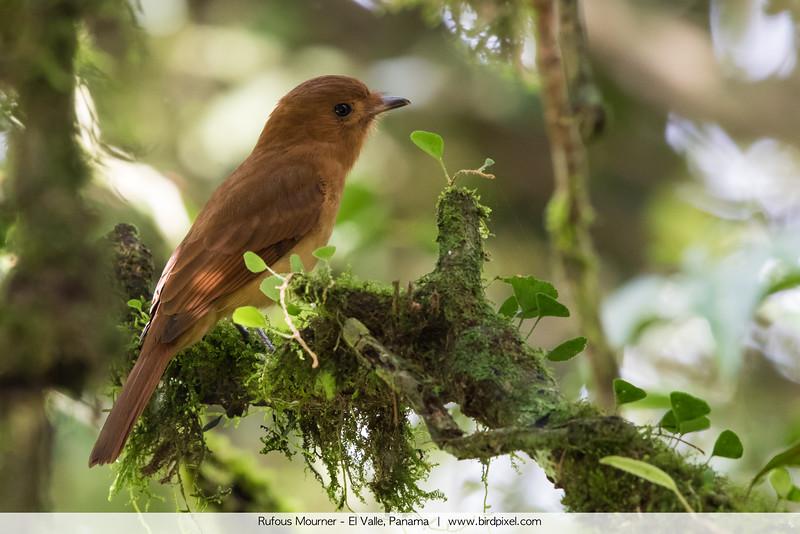 Rufous Mourner - El Valle, Panama