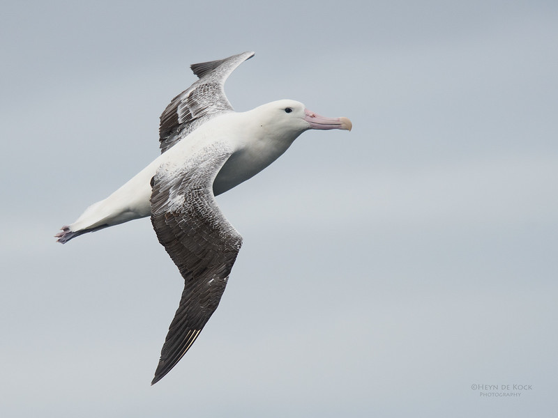 Southern Royal Albatross, Eaglehawk Neck Pelagic, TAS, Sept 2016-6.jpg