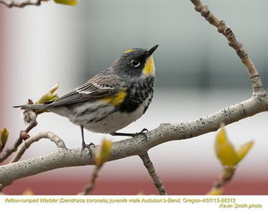 Yellow-rumped Warbler Audubon's M66312.jpg