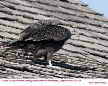Turkey Vulture J75184.jpg