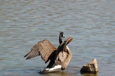 Geese at Muddy Run