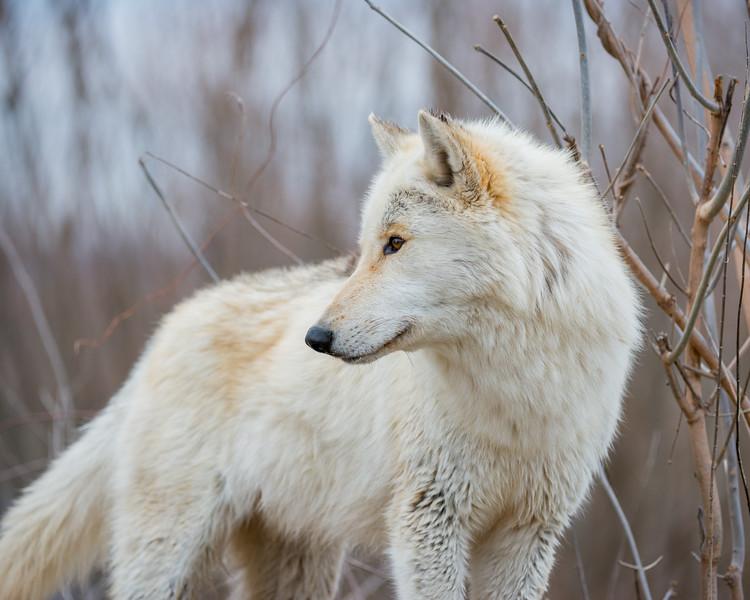 Wolf2.jpg