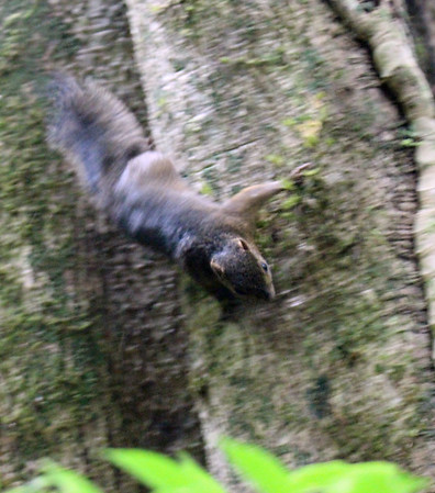 Squirrel, Deppe's Squirrel