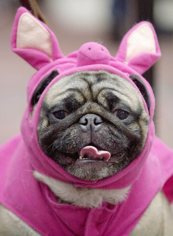 . This Sunday, Oct. 28, 2001 file photo shows Hercules, a pug, dressed up like a pig waits to take the stage during the Halloween Pet Parade and Costume Contest in Coconut Grove, Fla.  Pet owners will dress up millions of dogs this month for Halloween parades, parties, pictures, contests or candy hunts.   (AP Photo/Amy E. Conn, FILE)
