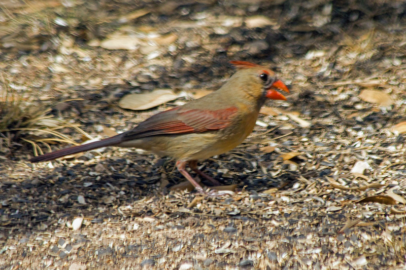 Northern Cardinal Female ~ Photographed at South Llano River Wildlife Area in central Texas.