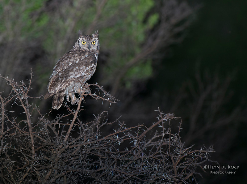 Spotted Eagle-owl, Ithala NP, KZN, SA Jan-2014-2.jpg