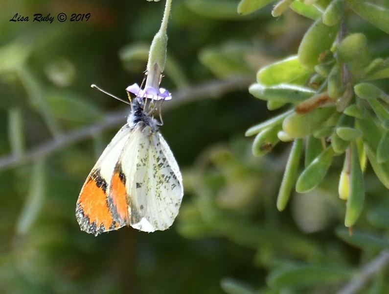 Sara Orangetip Butterfly - 4/14/2019 - Agua Caliente County Park Marsh Trail