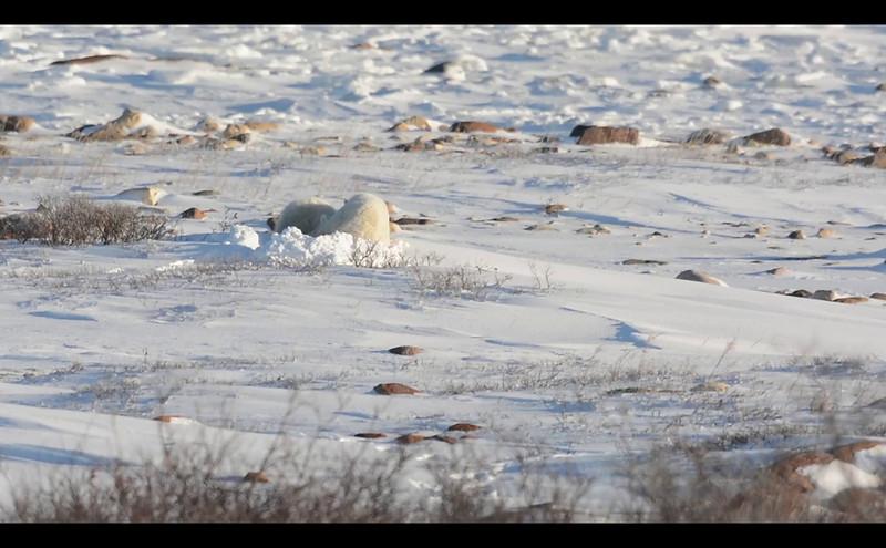 polar_bear_nursing_001.mov