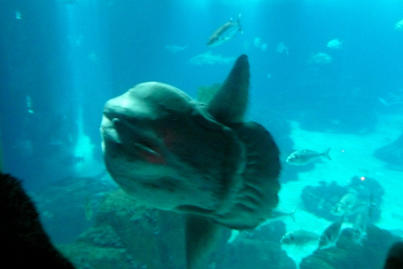 Sunfish. Oceanário, Parque das Nações, Lisbon