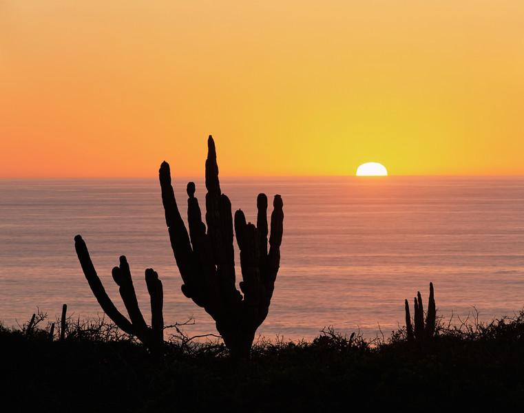 Baja California Sur, Mexico / Cardon Cactus, Pachycereus pringlei, near Todos Santos with sun setting into the Pacific. 22002H10