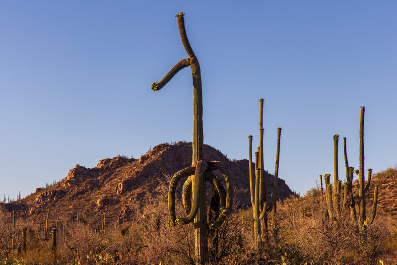 The Cactus That Thought It Was A Giraffe