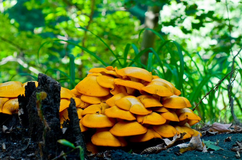 """Every year, this rotting treestump gets the most amazing bloom of mushrooms... for about 2 days, then it """"melts"""" and whew! what a stink!"""