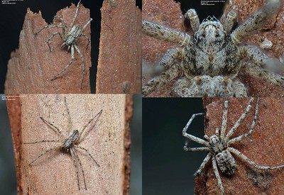 Philodromidae (Running Crab Spiders)