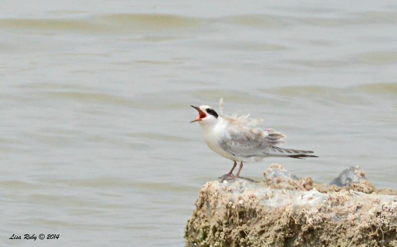 Begging Juvenile Forster's Tern   - 7/27/2014 - Salton Sea