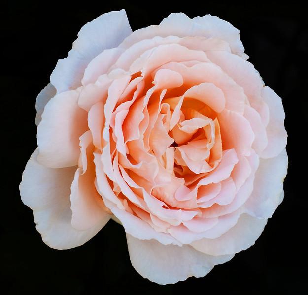 Simple rose taken in Chinon France_5151025022_o_8179027408_o.jpg