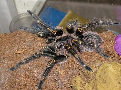 G. aureostriata newly molted