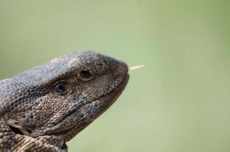 Reptil i Mabula Game Reserve, Limpopo, Sydafrika