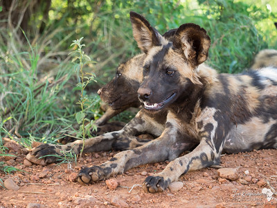 Wild Dog Pup Portrait