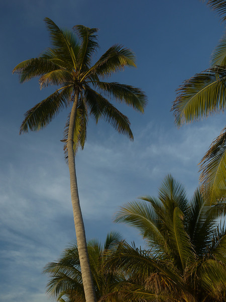 Palm trees, Xanadu Resort.