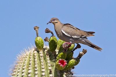 Pigeons, Doves, Parrots, Cuckoos
