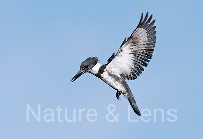 Belted Kingfishers